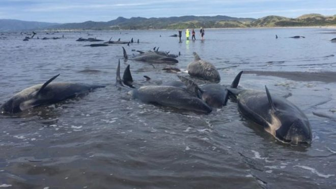 300-whales-found-dead-in-New-Zealand