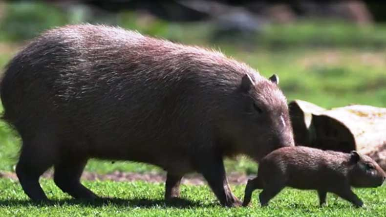 World's largest rodent gives birth in Britain