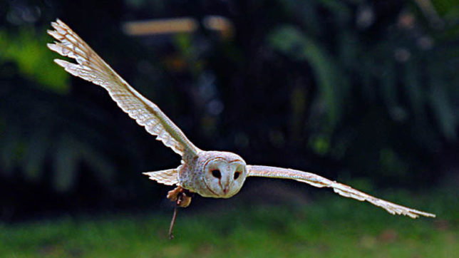 Owls' wings could hold key to quieter aircraft