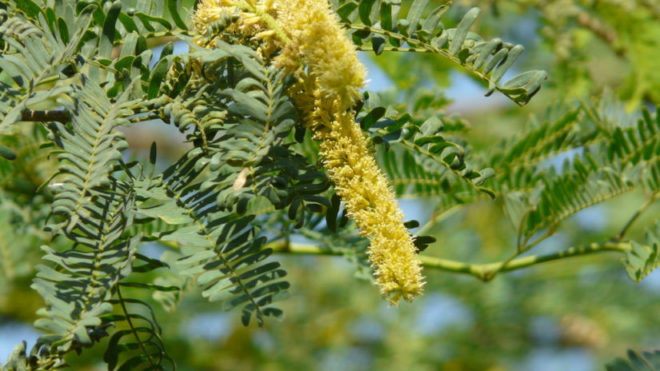 Recent study shows, invasive wild shrubs may be removed to cut down Malaria