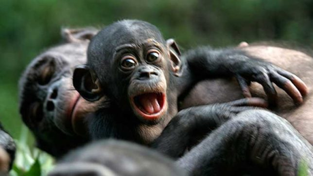 Bonobos go out of their way to help strangers, claims study