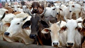 Rajasthan: Cow smuggler shot dead in encounter with police in Alwar