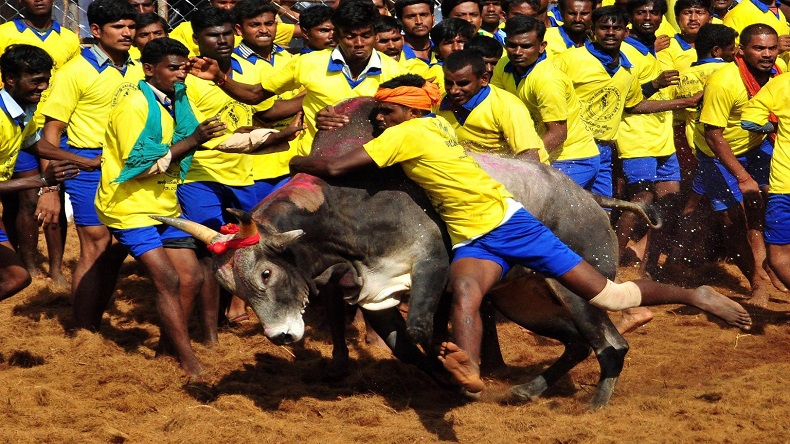 Palamedu Jallikattu: Spectator gored to death by bull