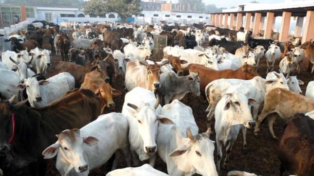 Centre modifies rules to end cattle slaughter