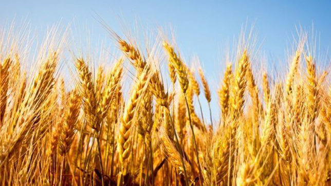 Wheat arrival in Haryana nearly 70 lakh tonnes