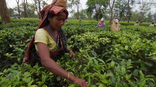 Planters apprehensive about future of Darjeeling tea exports, pin hopes on GI tag