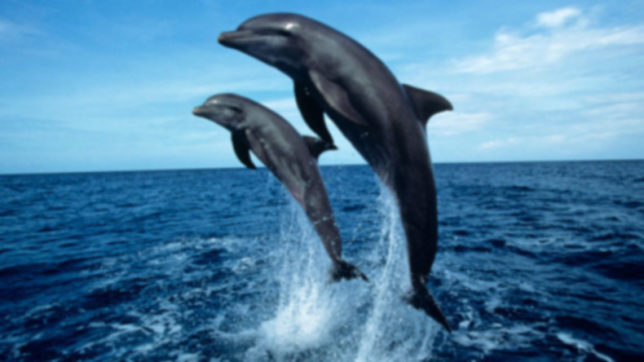New Zealand dolphin species declined by 80%