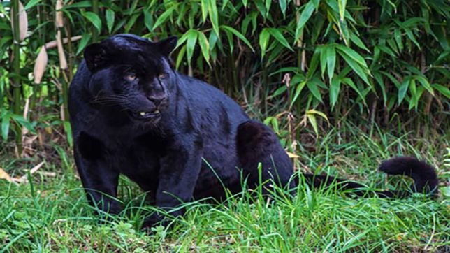 Bharatpur: Missing woman's foot found in panther's den; forest officials deny animal attack