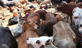 Delhi High Court issues notice on plea regarding cruelty on dairy cattle