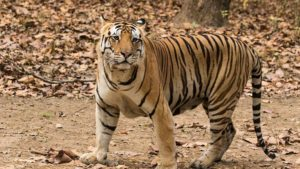 regional news, arunachal pradesh, dibang valley, all india tiger estimation, tiger population india, tigers in india, gujarat tigers, Wildlife Institute of India , wildlife india, National Tiger Conservation Authority, free ranging tigers, Dibang Wildlife Sanctuary, wildlife sanctuaries india