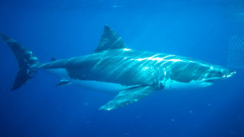 At least 2,210 adult white sharks currently live off Australia's coast with an adult survival rate estimated at 90 percent