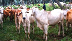 Cows in Malaysia to get Quranic recitals, holy book to improve beef quality?