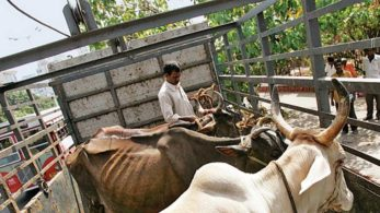 cattle slaughter, MP cattle slaughter, Satna cattle claughter, MP Police, MP lynching, India news, regional news, national news, MP, Madhya Pradesh, cattle, slaughter, mob lynching, Satna district