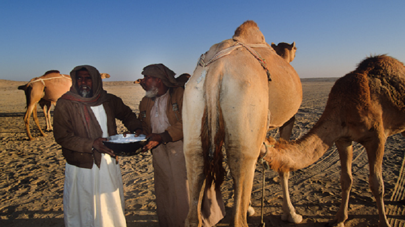 Camel milk demand,kutch,camel milk us,Camel milk for rs 3000,Rajasthan